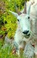 Mazama Mountain Goat